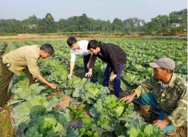 Lãnh đạo xã Âu Lâu và cán bộ khuyến nông thành phố Yên Bái kiểm tra sản xuất rau an toàn tại thôn Cống Đá, xã Âu Lâu.