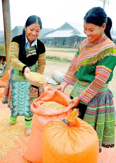 Nhân dân thôn Háng Xê, xã Xà Hồ, huyện Trạm Tấu được mùa ngô.
