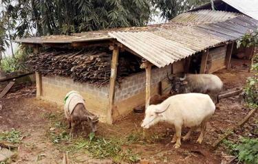 Mỗi khi nhiệt độ xuống thấp, người dân Trạm Tấu chủ động đưa đàn gia súc về nuôi nhốt tập trung.