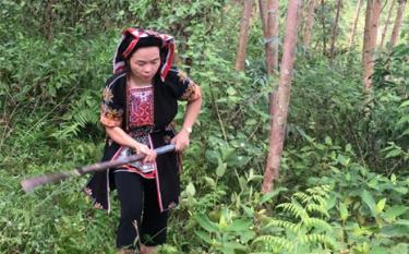 Chị Tướng Thị Thuyết chăm sóc rừng bạch đàn.