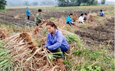 Mô hình hỗ trợ trồng cây sả chanh ở Lục Yên