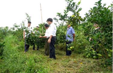Mô hình trồng thử nghiệm giống cam BH tại xã Thượng Bằng La, huyện Văn Chấn.