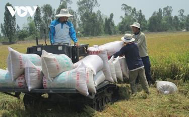 Giá gạo xuất khẩu Việt Nam tăng cao kỷ lục.