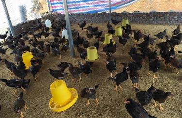 Một mô hình chăn nuôi gà thả vườn an toàn sinh học tại xã Xuân Long, huyện Yên Bình.