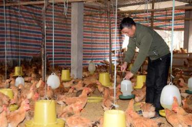 Lứa gà của anh Mai Hồng Hà sẽ xuất bán đúng dịp tết Nguyên đán Canh Tý 2020.