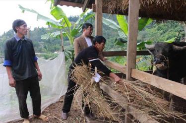 Nhân dân huyện Mù Cang Chải chuẩn bị chuồng trại và dự trữ thức ăn cho trâu, bò trước mùa rét.