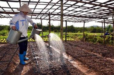 Nông dân xã Văn Phú trồng rau vụ đông.