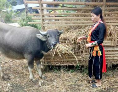 Người Dao xã Tân Phượng dự trữ rơm rạ làm thức ăn cho trâu trong mùa đông.