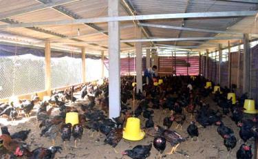 Một mô hình nuôi gà theo hướng tập trung quy mô hàng hóa ở xã Púng Luông.