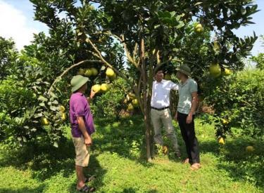 Trồng cây ăn quả có múi đem lại thu nhập cao cho nông dân xã Hưng Thịnh.