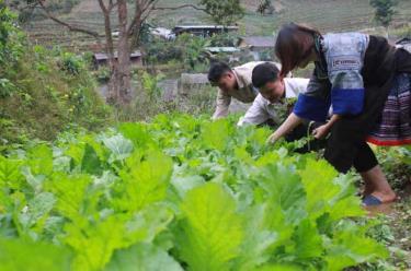 Nông dân Mù Cang Chải đã đầu tư mở rộng quy mô, ứng dụng tiến bộ khoa học - kỹ thuật vào sản xuất rau sạch.