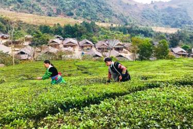 Đồng bào dân tộc Mông xã Suối Bu, huyện Văn Chấn chăm sóc chè Shan tuyết.