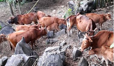 Nhờ chăm sóc tốt, đàn bò của ông Phùng Xuân Lục luôn khỏe mạnh.