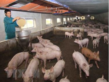 Định hướng của ngành Nông nghiệp thời gian tới là tái đàn từng bước, phát triển chăn nuôi tập trung, an toàn, có kiểm soát.