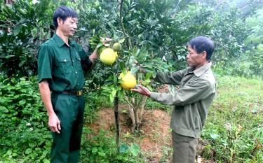 Hội viên cựu chiến binh xã Đại Đồng trồng bưởi da xanh cho thu nhập gần 100 triệu đồng/năm.