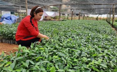 Nông dân xã Đại Đồng sản xuất, cung ứng  giống cây lâm nghiệp.