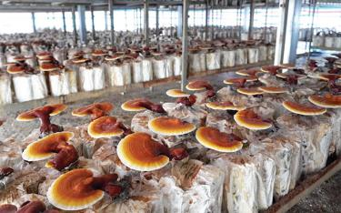 Mô hình trồng thử nghiệm nấm Linh Chi trên giá thể là thân cây keo tại Trung tâm Ứng dụng, Kỹ thuật, Thông tin KH&CN tỉnh.