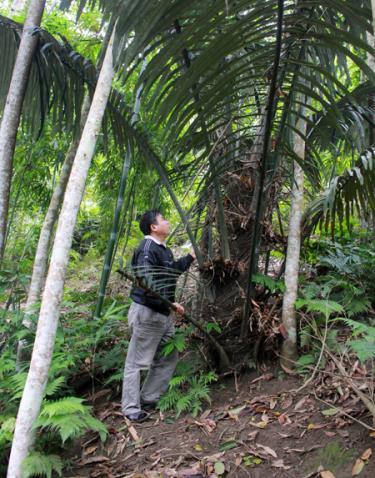 Ông Triệu Thiều Thăng bên cây đao rừng khoảng 7 năm tuổi.