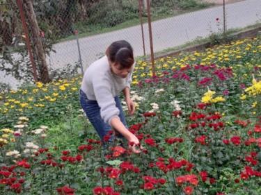 Hoa cúc nở sớm hơn dự tính khiến người trồng hoa thất thu.