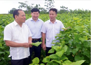 Đồng chí Triệu Tiến Thịnh - Ủy viên Ban Thường vụ Tỉnh ủy, Phó Chủ tịch HĐND tỉnh khảo sát vùng trồng dâu tại xã Việt Thành, huyện Trấn Yên.