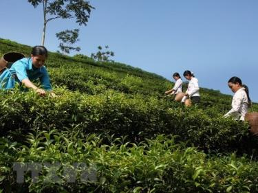 Farmers harvest tea in Son La province's Moc Chau district.