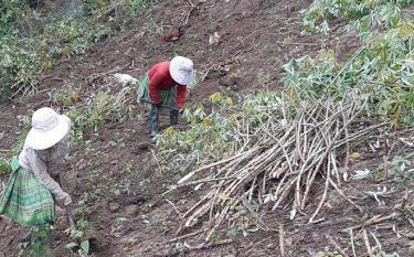 Gia đình anh Sùng A Phong, thôn Mo Nhang thu hoạch sắn làm thức ăn cho gia súc.