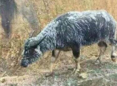 Nhiều nơi vẫn để trâu bò thả rông mặc dù đã được cảnh báo có băng giá