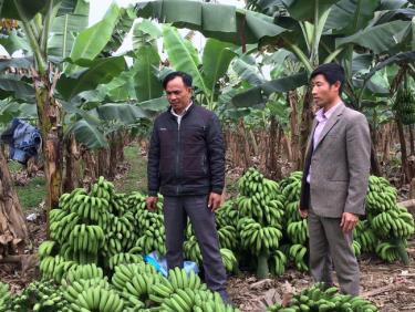 Với 40ha vườn, đồi, rừng, trong đó có 11ha trồng chuối, anh Tạ Văn Vinh (trái) ở xã Đông An, huyện Văn Yên, Yên Bái thu lãi hơn 3 tỷ đồng/năm.