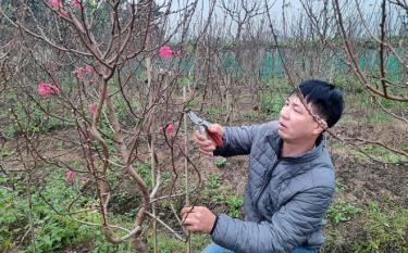 Người dân thị trấn Yên Thế chăm sóc đào cảnh phục vụ thị trường Tết