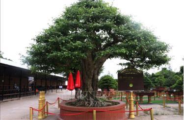 Cây sanh bonsai có đường kính tán lớn nhất Việt Nam.