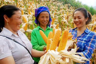 Huyện Trạm Tấu luôn quan tâm khảo nghiệm các giống ngô mới có năng suất, chất lượng cao để sản xuất ngô hàng hóa. (Ảnh: Văn Tuấn)
