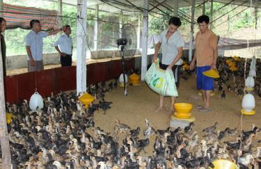 Trang trại chăn nuôi gà quy mô trên 1.000 con/lứa của một hộ nông dân xã Hòa Cuông.
