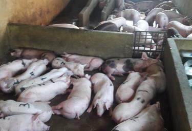 Khi  xét nghiệm dương tính với bệnh dịch tả lợn châu Phi, cấm điều trị lợn bệnh mà phải tiêu hủy ngay.
