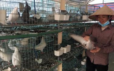 Nhờ được vay vốn của Ngân hàng Nông nghiệp và Phát triển nông thôn Chi nhánh huyện Yên Bình, Bắc Yên Bái, gia đình chị Lê Thị Ngọc ở thôn Làng Quyên, xã Vũ Linh thành công từ mô hình nuôi chim bồ câu Pháp.
