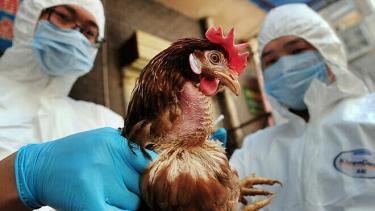 Cúm gia cầm H5N6 chưa ghi nhận trường hợp nào lây từ người sang người.