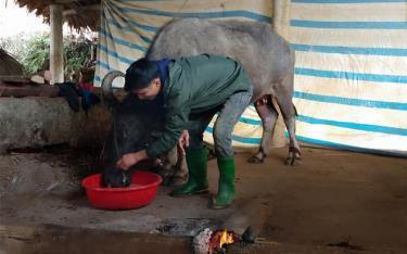 Người chăn nuôi huyện Trấn Yên chủ động phòng chống rét và dịch bệnh trên đàn vật nuôi.
