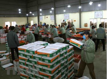 Đóng gói sản phẩm cà rốt chuẩn bị xuất khẩu.