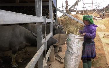 Người dân Mù Cang Chải chủ động chăm sóc đàn gia súc phòng, chống thời tiết rét đậm, rét hại.