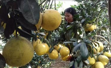 Bưởi đỏ đang mang lại hiệu quả kinh tế khá, được nông dân huyện Văn Yên tập trung phát triển.