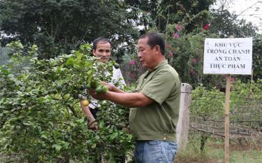 Mô hình trồng chanh tứ thời của ông Phạm Thế Cầu (bên phải), thôn Bình Sơn, xã Văn Phú đem lại hiệu quả kinh tế cao.