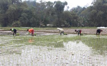 Lục Yên đã gieo trồng được trên 5.700ha cây vụ xuân.