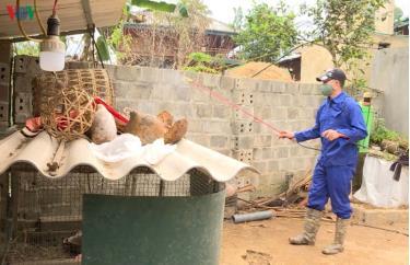 Tỉnh Điện Biên đang tiến hành cấp hơn 21.600 lít hóa chất cho 10 huyện, thị xã, thành phố để tiến hành phun tiêu độc khử trùng.