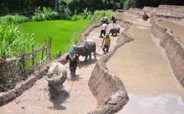 Người Mông xã Cao Phạ giúp nhau làm đất gieo cấy lúa xuân.