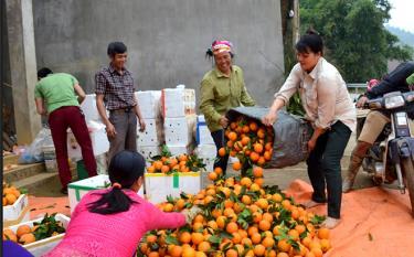 Thành viên HTX Cam Hồng Sơn thu hoạch cam.