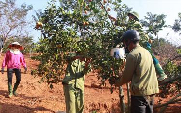 Phát triển cây ăn quả đem lại thu nhập ổn định cho người dân ở thị trấn Sơn Thịnh.