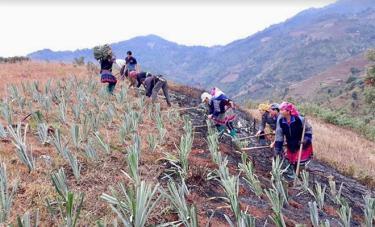 Mô hình trồng dứa của Hội Nông dân huyện Mù Cang Chải tại xã Khao Mang.