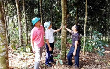 Người dân xã An Lương làm giàu từ cây quế (ảnh: Văn Tuấn)