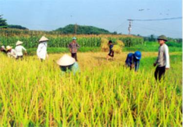 Nông dân xã Văn Lãng (Trấn Yên) thu hoạch lúa mùa. (Ảnh: Linh Chi)