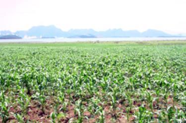 Ngô đông xuân trên đồng bãi ven hồ Thác Bà ở xã Vĩnh Kiên.