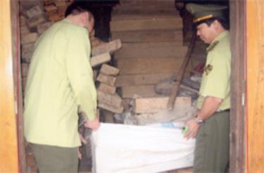 Kiểm lâm tịch thu gỗ pơ mu vận chuyển trái phép.